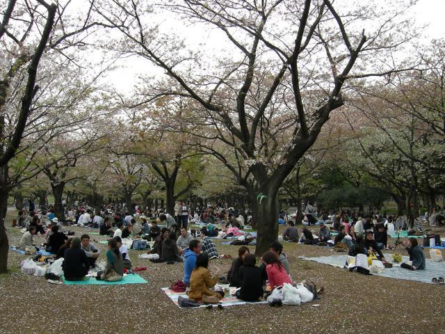 Still celebrating Hanami (cherry blossom parties)
